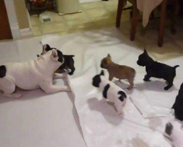Adorável Momento Em Que Bulldog Francês Brinca Com Os Seus Filhos 1