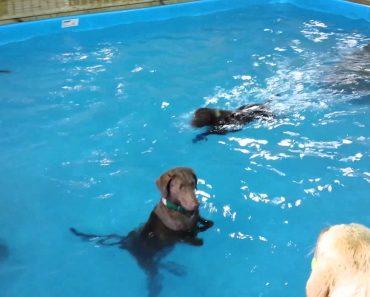 Cão Vai Para Dentro De Água Em Piscina... Mas Não Consegue Entender Como Se Nada 8