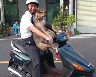 Cão Passeia De Scooter Com o Seu Dono Em Grande Estilo 1