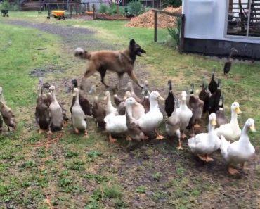 Esta Cadela Sabe Exatamente o Que Tem De Fazer Para Controlar Os Patos 9