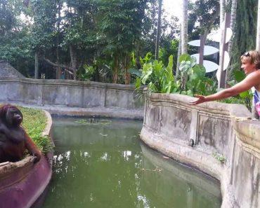Divertido Momento Em Que Visitante De Jardim Zoológico e Orangotango Atiram Presentes Um Ao Outro 1