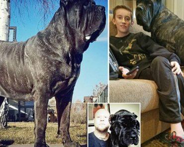 Só Tem 9 Meses, Mas Já é o Maior Cão Do Mundo Com 80 Kg De Peso e 1,80 M De Altura Quando Está De Pé 4