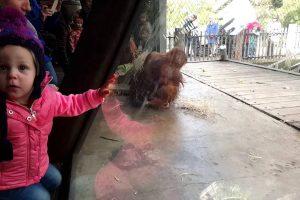 Orangotango Surpreende Visitantes De Jardim Zoológico Com Sessão De Break Dance 9