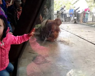 Orangotango Surpreende Visitantes De Jardim Zoológico Com Sessão De Break Dance 6