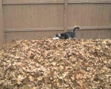 Husky Fica Louco Com Monte De Folhas No Jardim 9