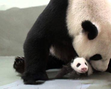 A Reação De Uma Mãe Panda Ao Receber o Seu Bebé Que Esteve Na Incubadora Mais De Um Mês 2