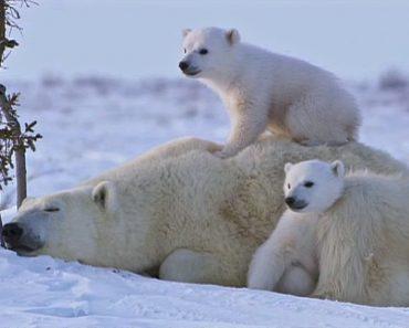 É Impossível Não Se Apaixonar Por Esta Adorável Família De Ursos Polares 1