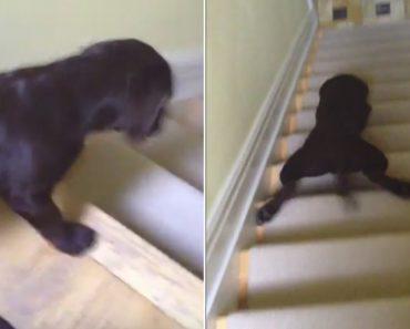 Labrador Tem Forma Hilariante De Descer As Escadas 6