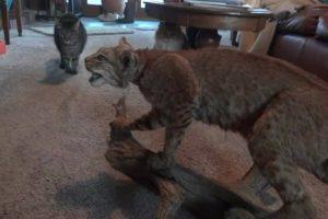 """Gatos Corajosos Enfrentam Lince Em """"Batalha Épica"""" 10"""