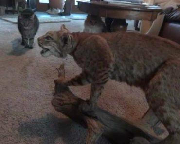 """Gatos Corajosos Enfrentam Lince Em """"Batalha Épica"""" 7"""