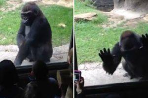 Gorila Irritado Assusta Crianças No Zoológico De Dallas 10
