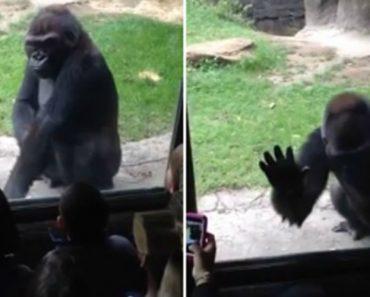 Gorila Irritado Assusta Crianças No Zoológico De Dallas 9