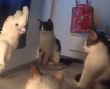 Catatua Mostra Quem Manda Ao Comunicar-se Com Um Grupo De Gatos 5