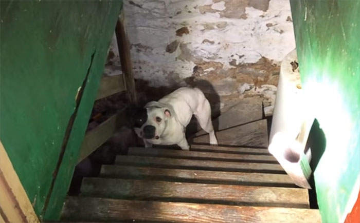 Comprou Casa, e Descobriu Pitbull Acorrentado Na Cave. A Reacção Do Animal é Emocionante 1