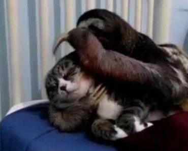 Preguiça Mostra Todo o Seu Amor Por Uma Gata 6