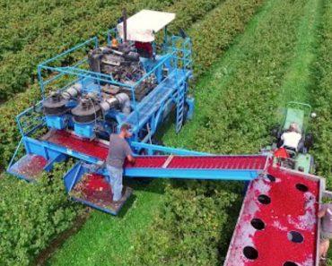 Nenhuma Baga Fica Por Apanhar Com Esta Enorme Máquina Agrícola 5
