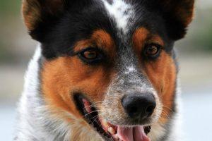 O Cão Que Faz 20 Truques Incríveis Num Vídeo De Apenas Um Minuto 10