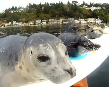 Câmera Colocada Em Prancha De Surf à Deriva Capta Momentos Hilariantes Com Focas 37