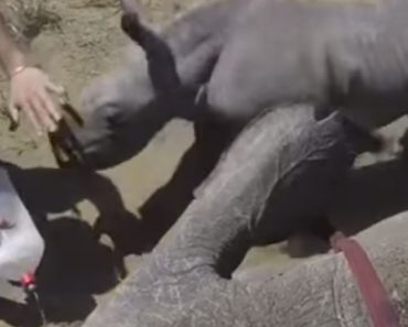 Protetora Cria De Rinoceronte Faz o Que Pode Para Defender a Mãe Que Está Ferida Numa Pata 5