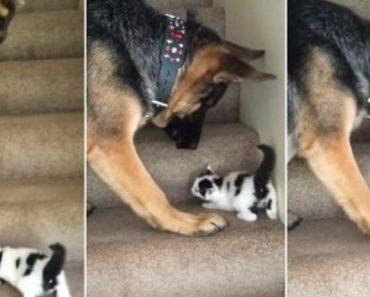 Protetor Pastor Alemão Ajuda Gatinho Bebé a Subir As Escadas 5