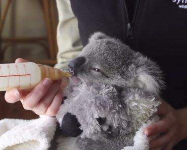 O Vídeo Deste Bebé Coala é a Coisa Mais Adorável Que Irá Ver Hoje 2