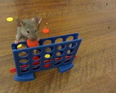 Inteligentes Ratos Fazem Habilidades Incríveis 3