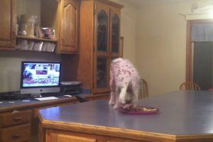 Inteligente Cãozinho Usa Método Perfeito Para Chegar à Bancada Onde Está a Comida 7