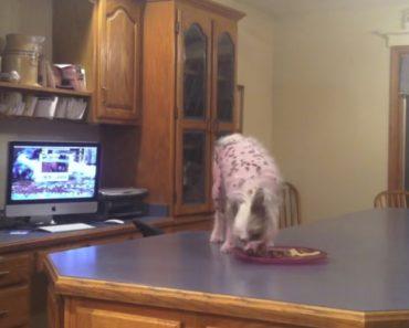 Inteligente Cãozinho Usa Método Perfeito Para Chegar à Bancada Onde Está a Comida 22