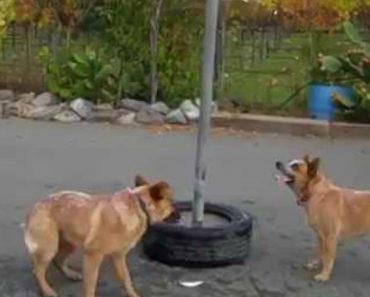 Entusiasmados Com Novo Brinquedo, Cães Trabalham Em Equipa Para Conseguirem Alcançar Bola 8