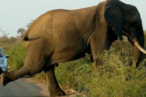 Elefante Pára No Meio Da Estrada Para Se Exercitar Enquanto Automobilistas Aguardam Pela Sua Passagem 9