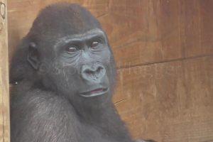 Gorila Tem Expressão Hilariante Ao Ficar Verdadeiramente Frustrado Por Estar a Chover 10