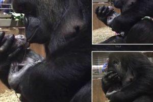 Precioso Momento Em Que Gorila Beija e Abraça Cria-Recém Nascida 10