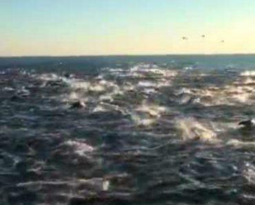 Enorme Grupo De Golfinhos Surpreende Turistas 1