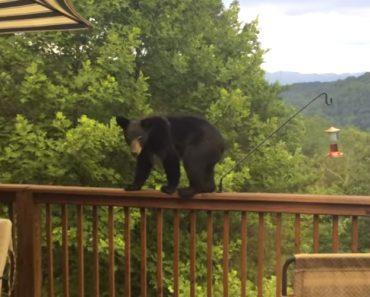 Urso Encontra Comedouro De Pássaros No Terraço, e Resolve Fazer Um Lanchinho 2