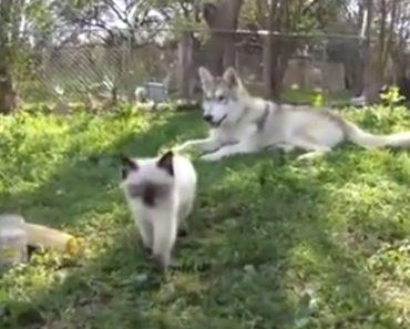 Husky Adota Gatinha Resgatada e Cuida Dela Como Se Fosse Sua Filha 6