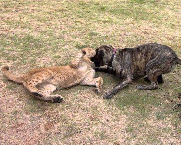 Cão Brinca Com Leões Bebés Em Parque Natural 7
