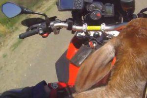 Bezerro é Resgatado Por Motociclista e Faz Passeio De Moto Para Ir Ao Encontro Da Família 9