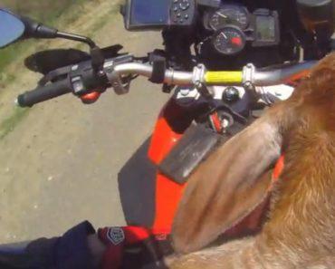 Bezerro é Resgatado Por Motociclista e Faz Passeio De Moto Para Ir Ao Encontro Da Família 5