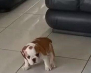 Cria De Bulldog Tem Pequeno Descuido, Mas a Mãe Piorou Ainda Mais a Situação 7