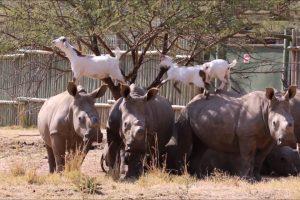 Pacientes Rinocerontes Permitem Que Cabras Andem Por Cima Deles Enquanto Comem e Brincam 10