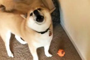 Cão Interrompe Brincadeira Para Responder à Dona Que Lhe Pergunta se Gosta Do Novo Brinquedo 22