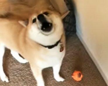 Cão Interrompe Brincadeira Para Responder à Dona Que Lhe Pergunta se Gosta Do Novo Brinquedo 1