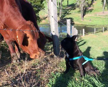 Bulldog Fica Verdadeiramente Aterrorizado Com Os Intensos Beijos Que Recebe De Algumas Vacas 6