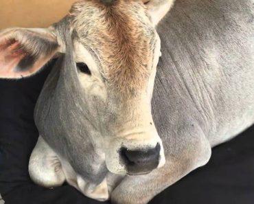 Inteligente Vaca Apodera-se Da Cama Do Cão Para Fazer a Sua Sesta 9