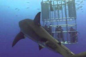 Grande Tubarão Branco Oferece Presente a Grupo De Mergulhadores 10