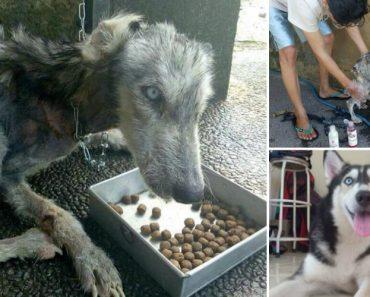 A Incrível Recuperação De Um Husky Encontrado Totalmente Desnutrido Nas Ruas De Bali 3