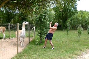 Homem Tenta Fazer Amizade Com Alpaca Mas Não é Muito Bem Recebido 1