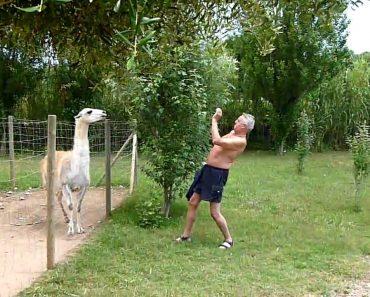 Homem Tenta Fazer Amizade Com Alpaca Mas Não é Muito Bem Recebido 4