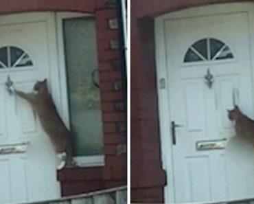Inteligente Gato Bate à Porta e Espera Para Entrar Em Casa 2