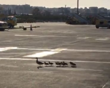 Família De Patos Decide Fazer Caminhada No Aeroporto De Faro 5
